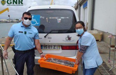 GNR de Portimão apreendeu 41 quilos de polvo