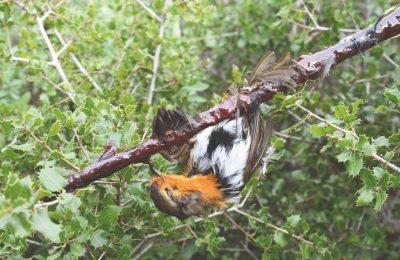 Deputados debatem a proibição de armadilhas para aves